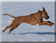Eagleridge ridgebacks in the snow